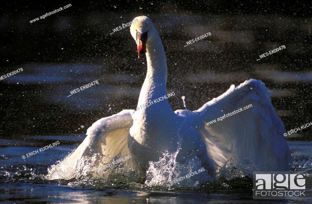 Stock Photo: wild swan.