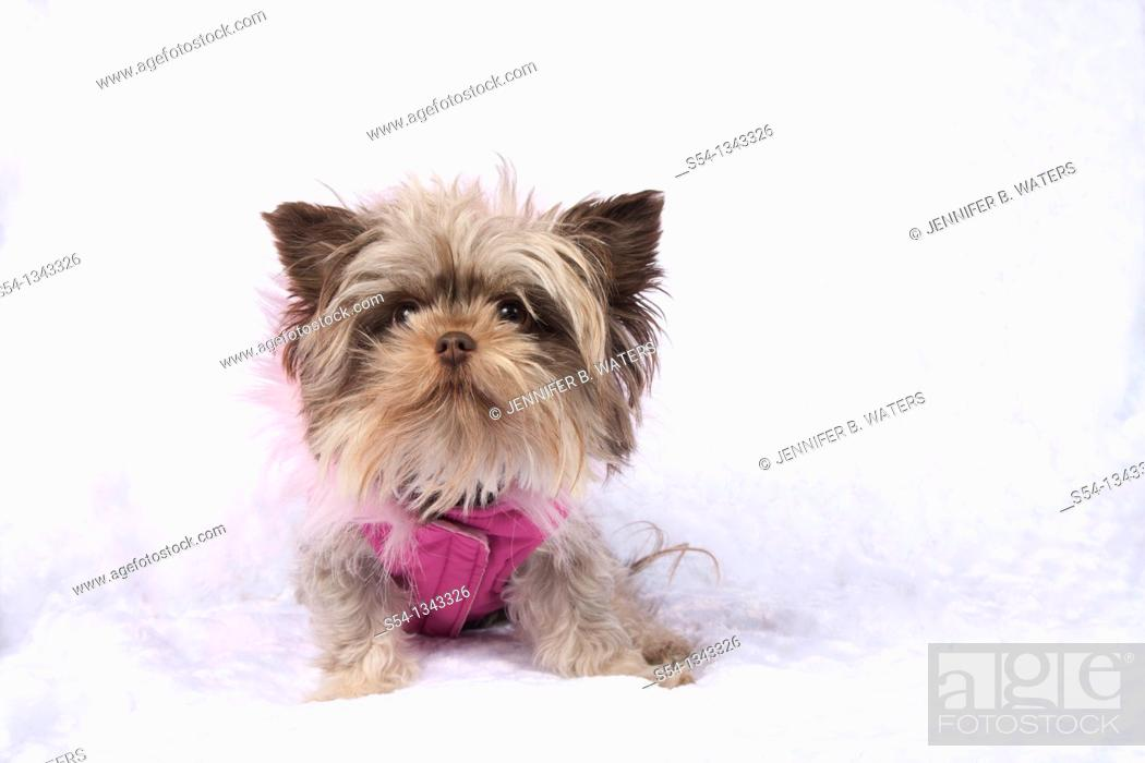 Stock Photo: A maltese chihuahua dog in a pink vest.