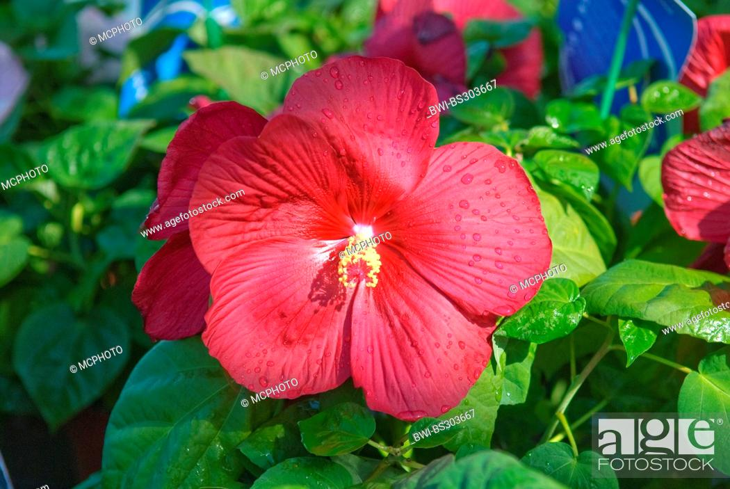 Swamp Rose Mallow Rose Mallow Hibiscus Moscheutos Luna Red