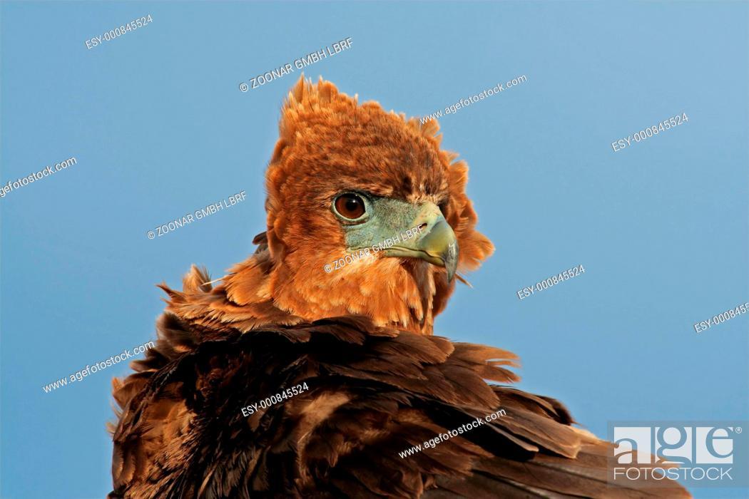 Stock Photo: Bateleur portrait.