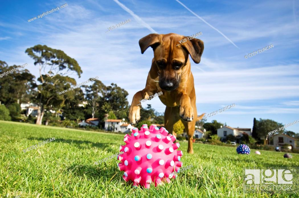 Stock Photo: Dog pounces on toy.