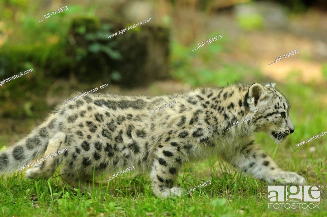 Imagen: Snow leopard - cub - walking / Uncia uncia.