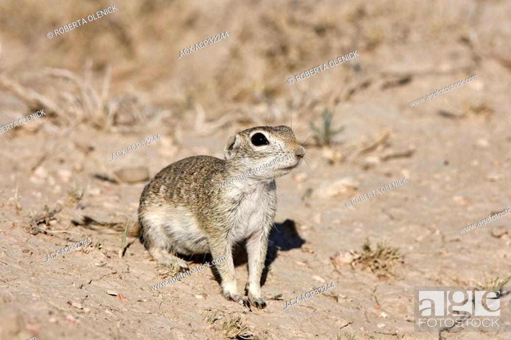 Stock Photo: Spotted ground squirrel Spermophilus spilosoma, Pueblo West, Colorado.