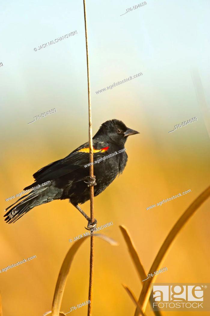 Stock Photo: Red-winged Blackbird (Agelaius phoeniceus).