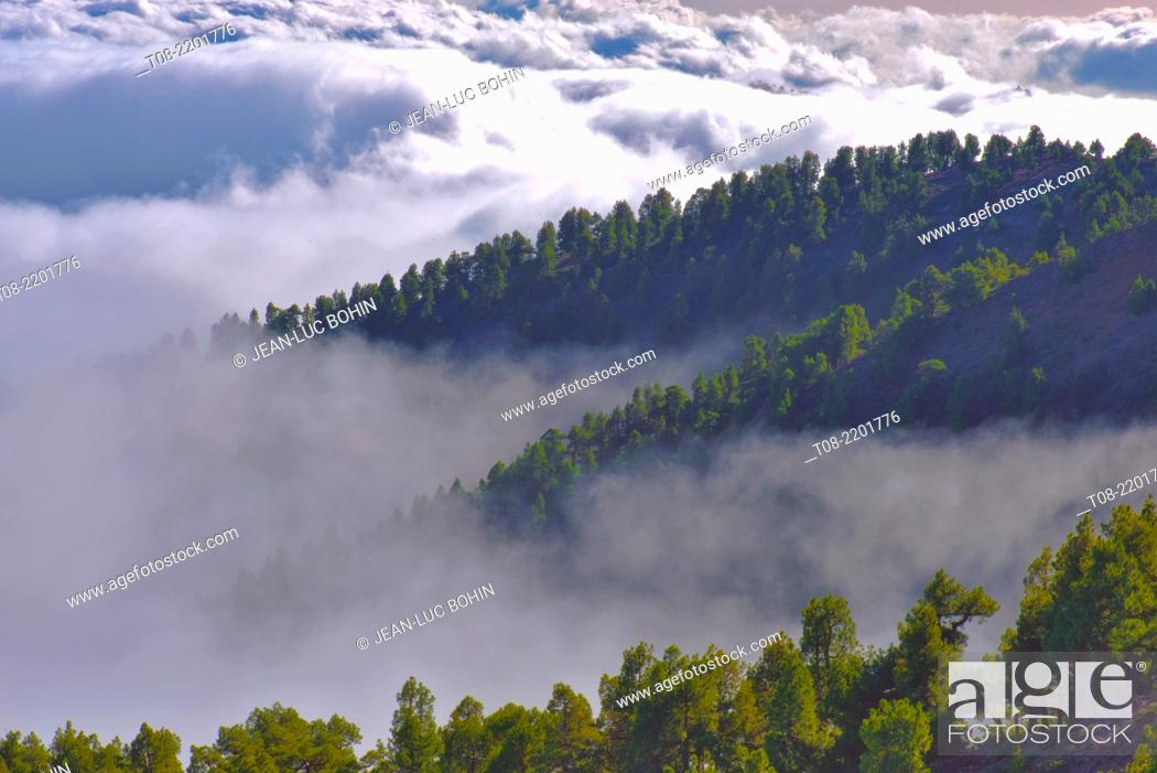 Imagen: pine-trees.