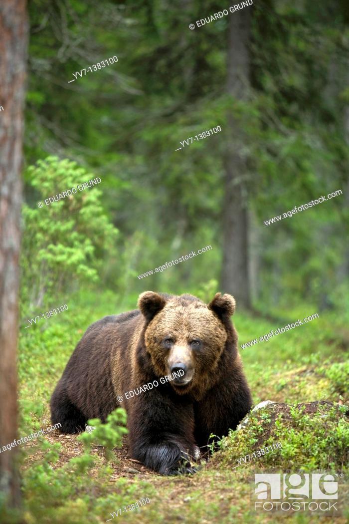 Stock Photo: European Brown Bear Ursus arctos, Finland.