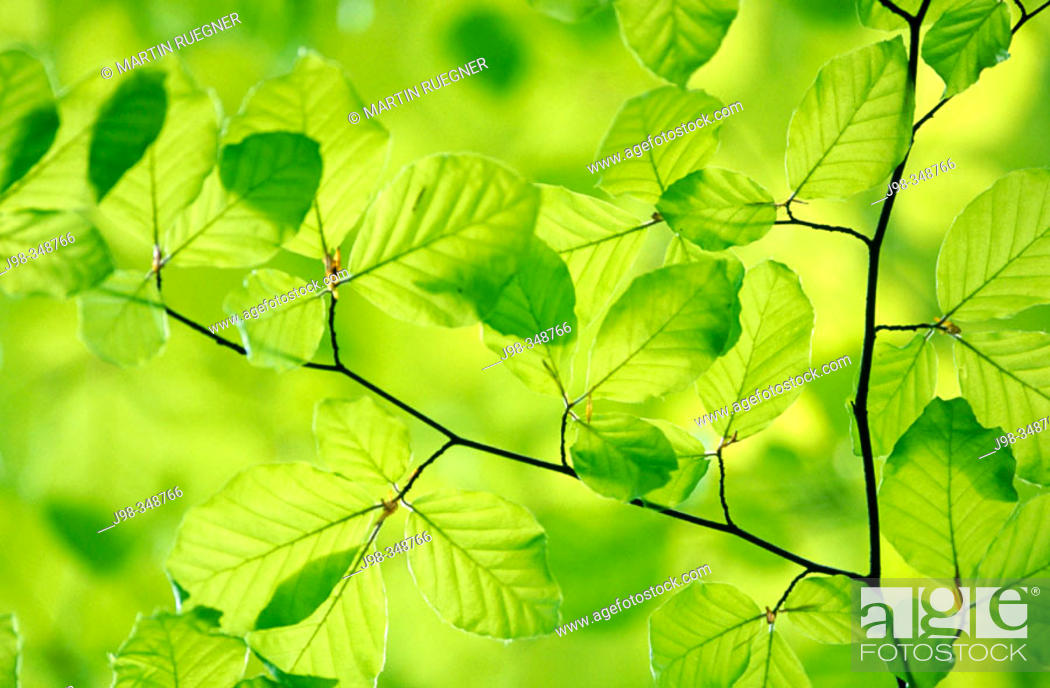 Stock Photo: European Beech (Fagus sylvatica) leaves in spring. Bavaria, Germany.