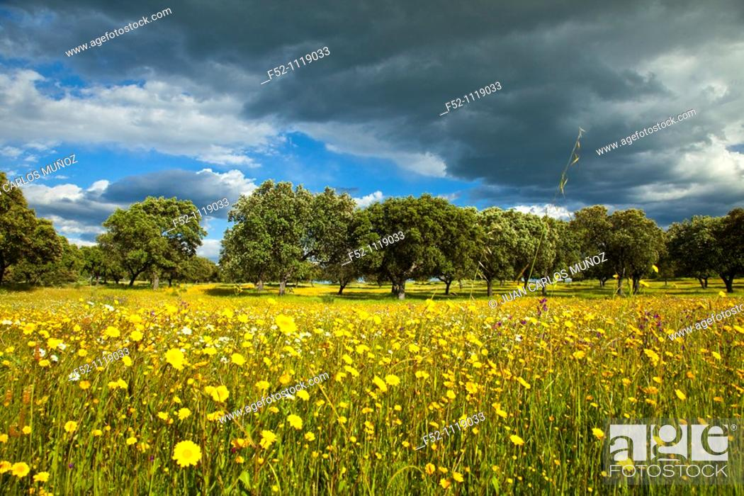 Stock Photo: Meadow in spring, Monfragüe National Park, Caceres province, Extremadura, Spain.