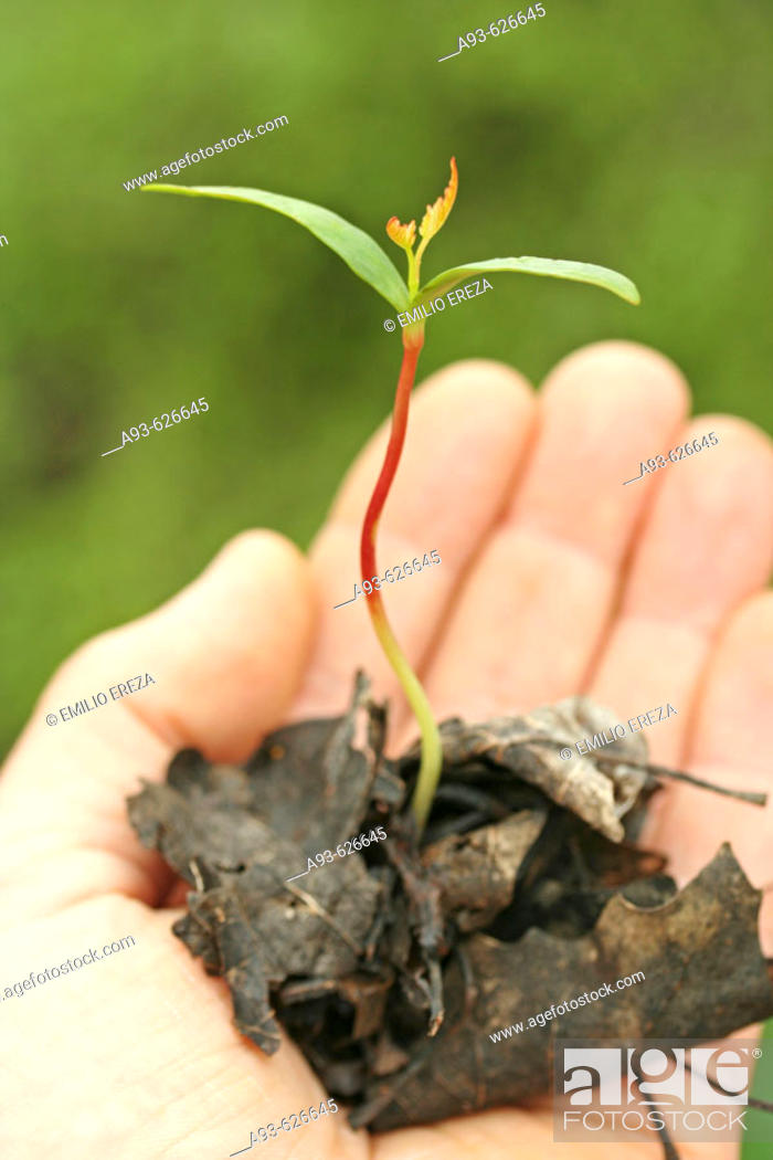Stock Photo: Maple tree sprout (Acer sp.).