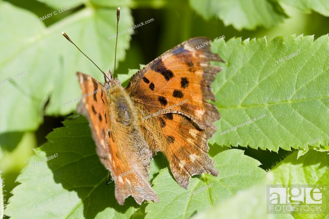 Stock Photo: Comma Butterfly, Polygonia c-album sunning on a leaf.