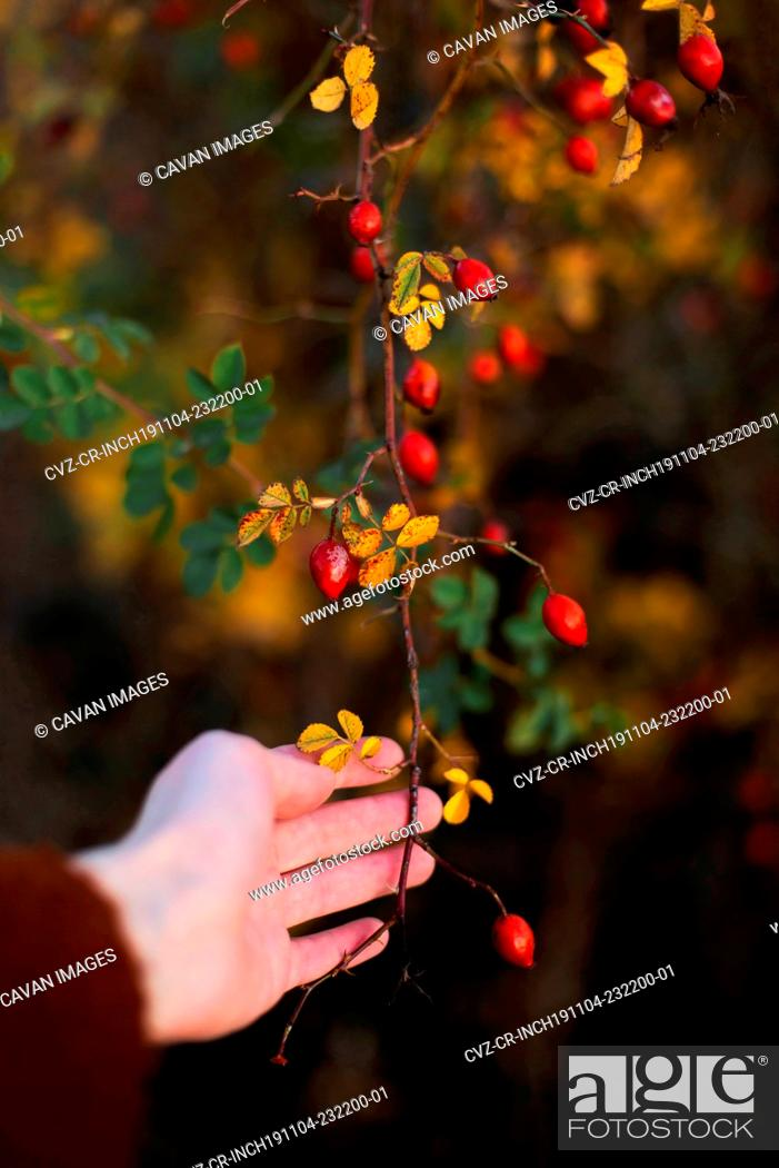 Stock Photo: Cropped hand of woman holding red berries from branches.