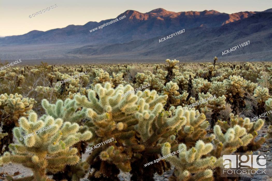 Stock Photo: jumping cholla cactus, Opuntia fulgida, Cholla Cactus Garden, Joshua Tree National Park, California, USA.
