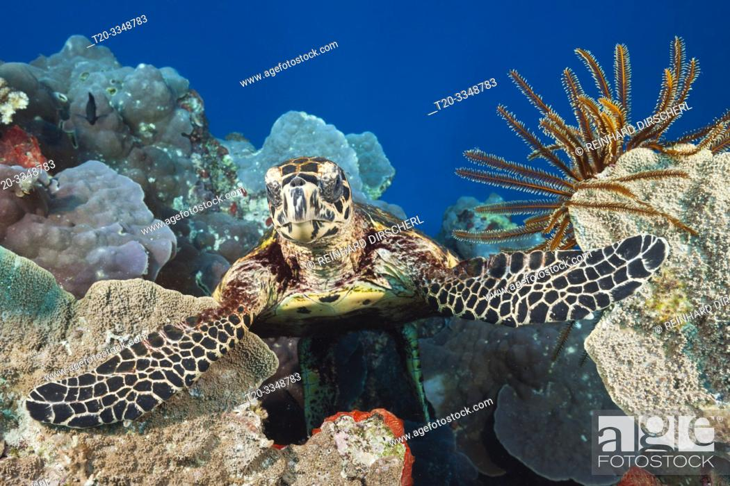 Stock Photo: Hawksbill Sea Turtle, Eretmochelys imbricata, Tufi, Solomon Sea, Papua New Guinea.