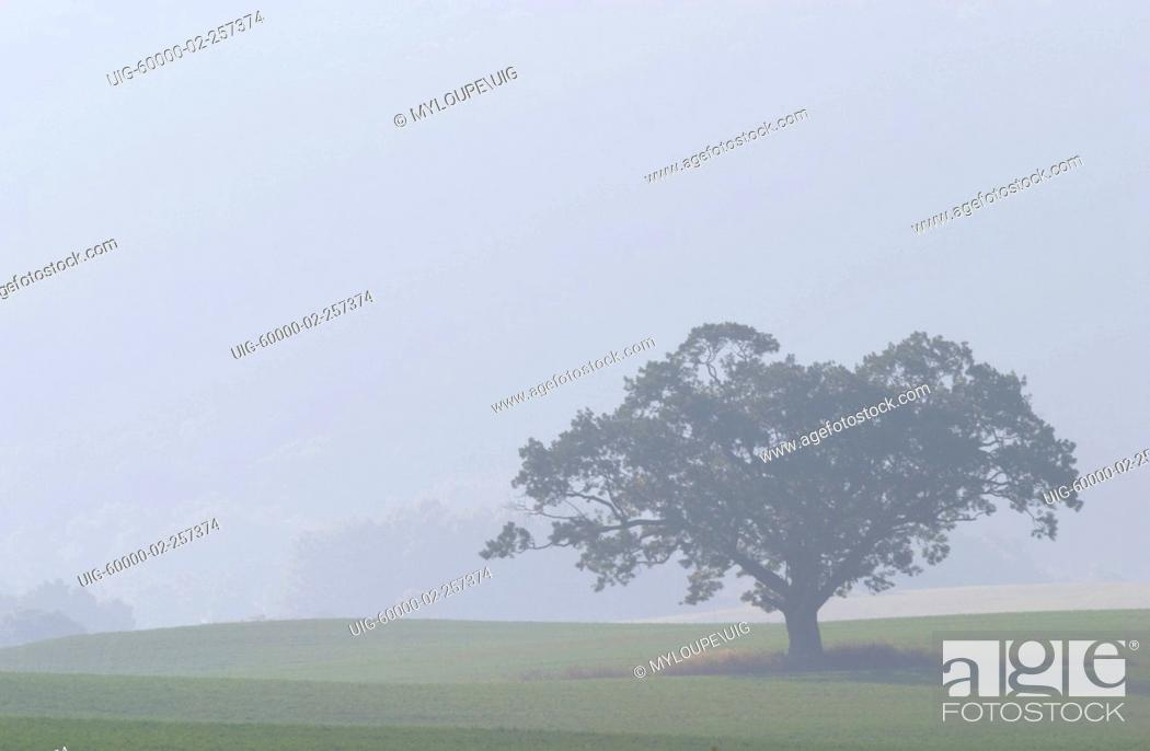 Stock Photo: Lone tree in fog.