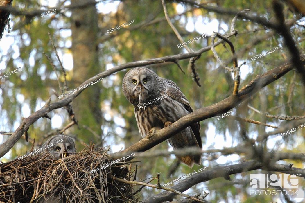 Stock Photo: Great Gray owls pair at nest Finnland Strix nebulosa.