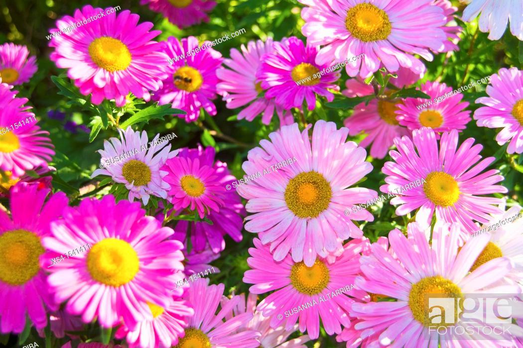 Imagen: Chrysanthemum indicum. Photo taken in Pinós, Lleida, Catalonia, Spain, Europe.