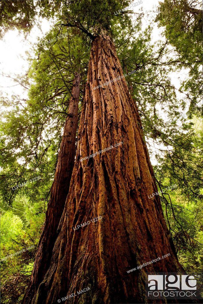 Stock Photo: USA, California, Marin County, Coast Redwood (Sequoia sempervirens). Old growth Coast Redwood trees, (Sequoia sempervirens).
