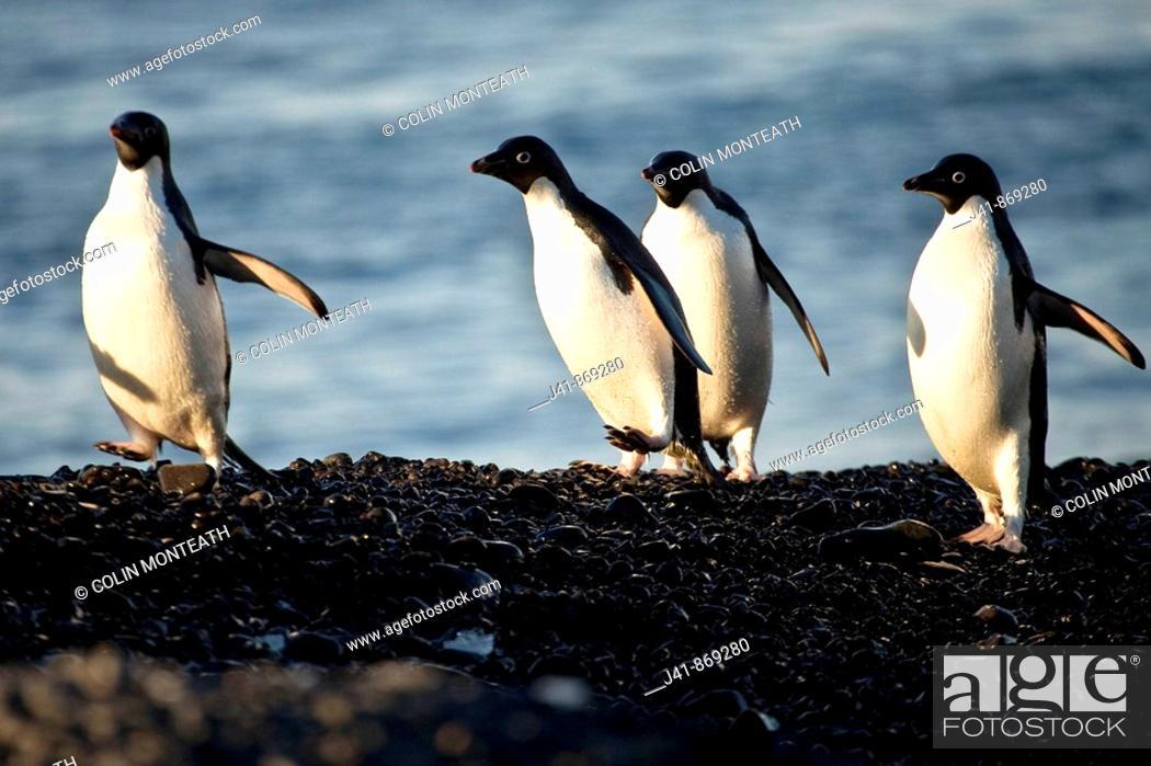 Stock Photo: Adelie penguins run along beach, Cape Adare, North Victoria Land, Antarctica.