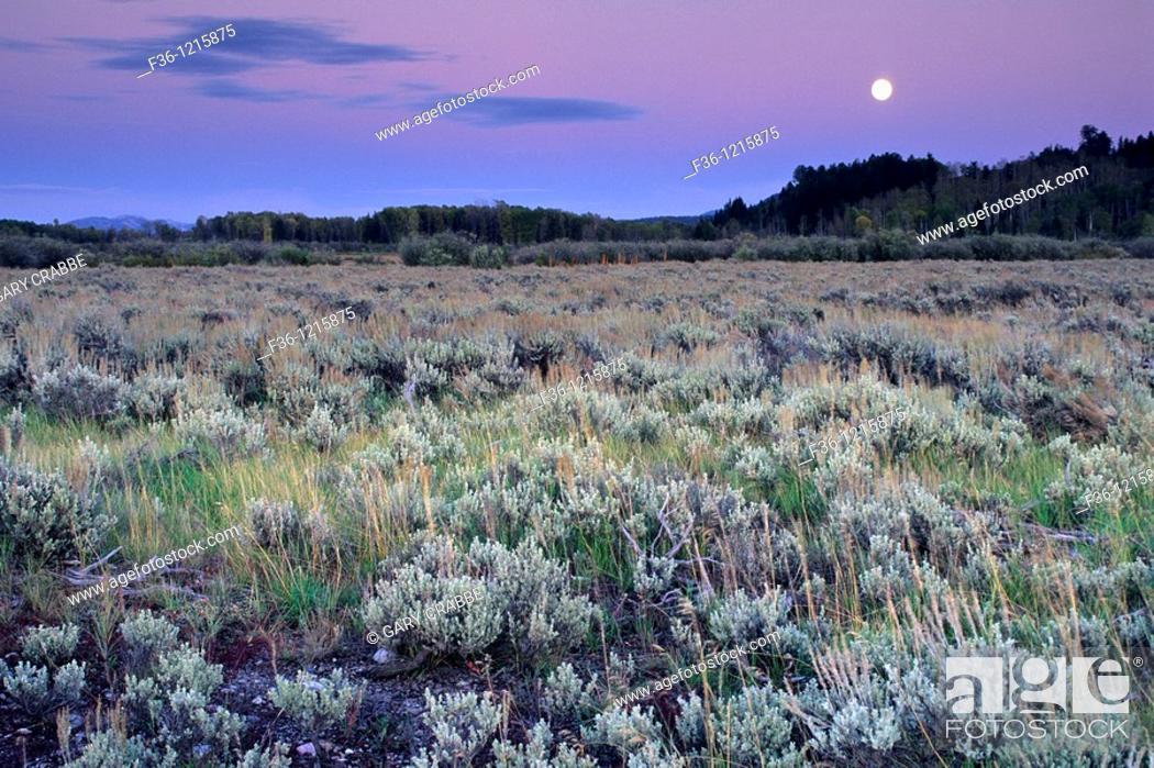 Stock Photo: Harvest moon rises at sunset over Aspen and Pine trees, Grand Teton Nat'l  Pk , WYOMING.