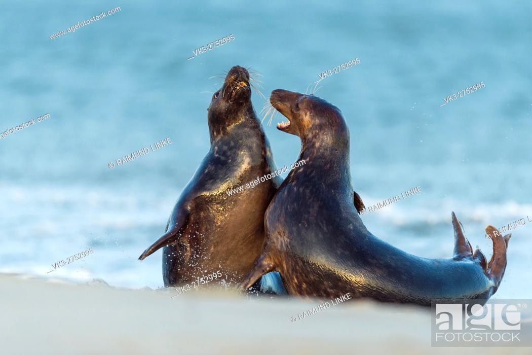 Imagen: Grey Seal, Halichoerus grypus, Pair Fighting in Mating Season, Europe.