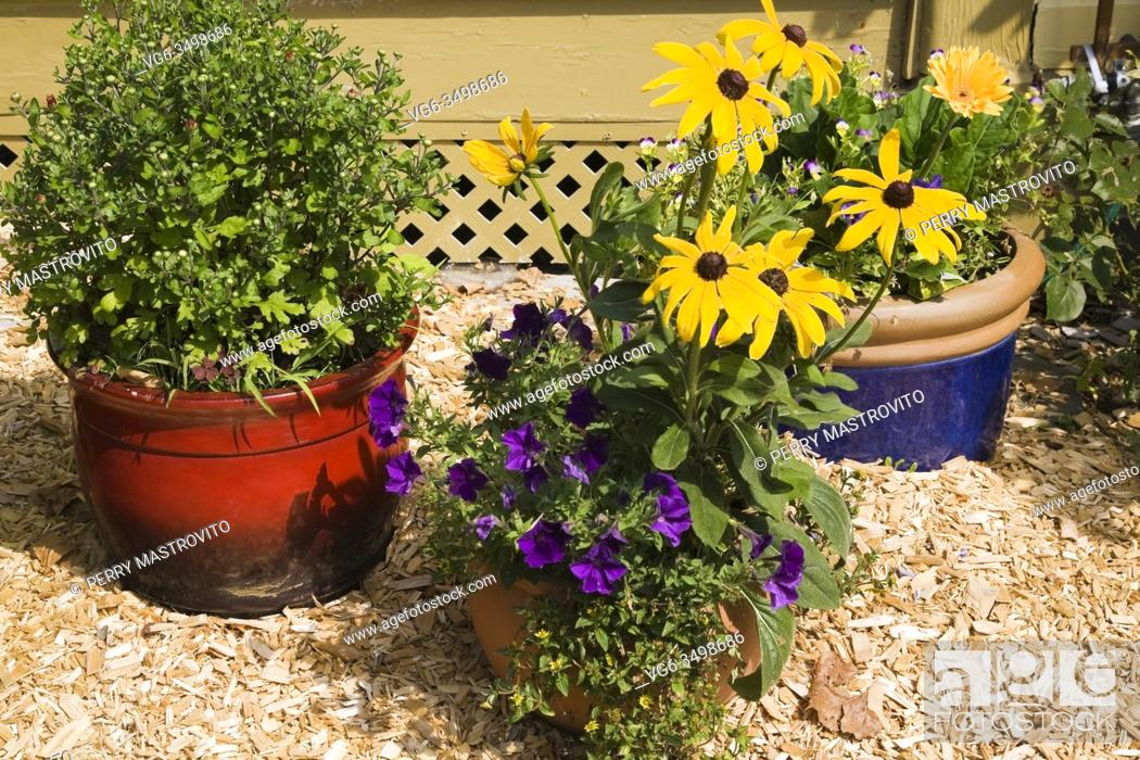 Stock Photo: Red, terracotta and blue planters with flowers including purple Petunias, yellow Rudbeckias - Coneflowers in cedar mulch border next to yellow house in rustic.
