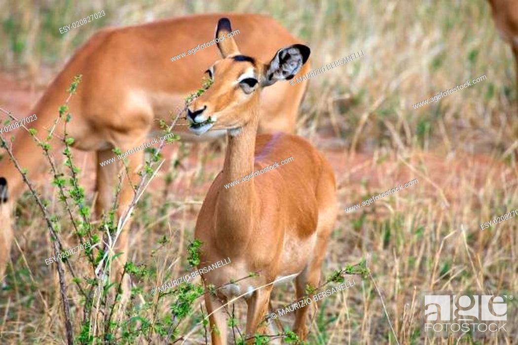 Imagen: Female impala (Aepyceros melampus).