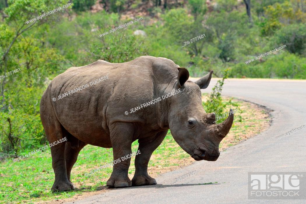 Stock Photo: White rhinoceros or Square-lipped rhinoceros (Ceratotherium simum), adult male at the edge of a paved road, ready to cross, Kruger National Park, South Africa.
