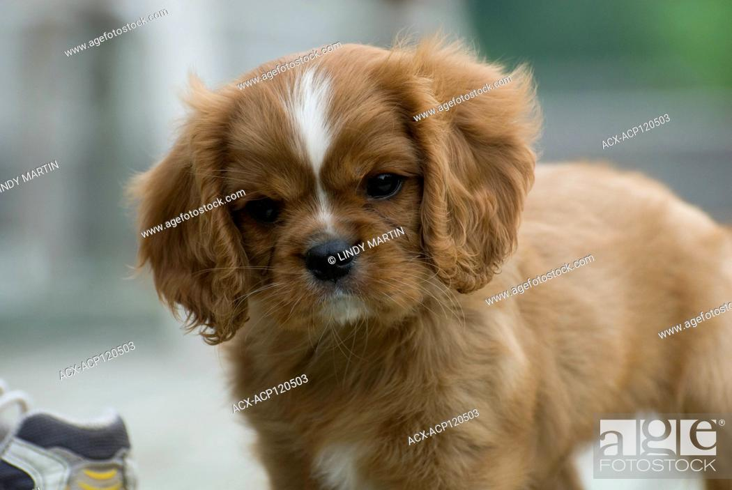 Portrait Of A Cute Cavalier King Charles Spaniel Puppy Stock Photo Picture And Rights Managed Image Pic Acx Acp120503 Agefotostock