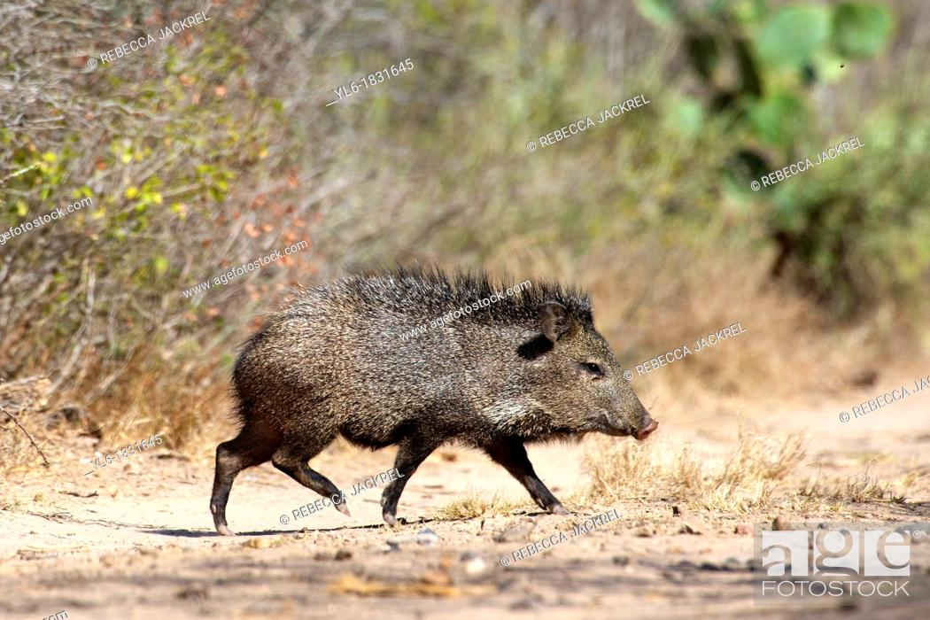 Stock Photo: A young peccary walking, Texas.