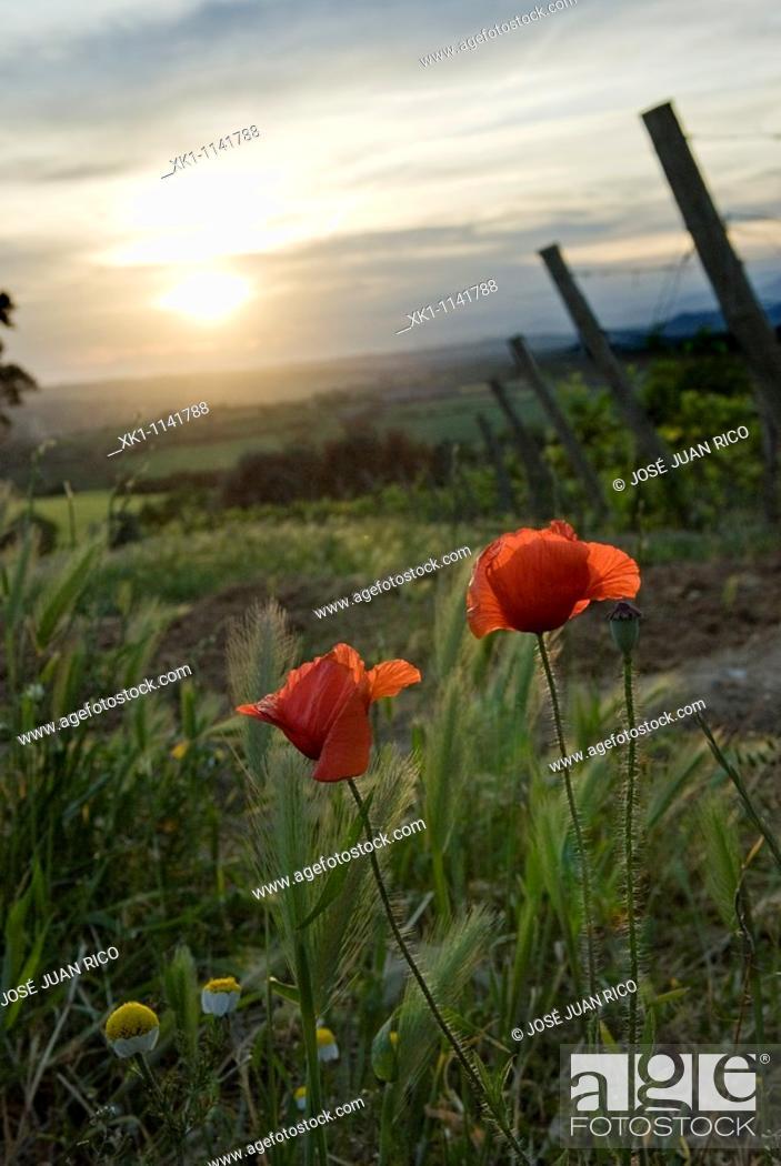 Stock Photo: Poppy in vineyard, Barbastro, Huesca, Spain.