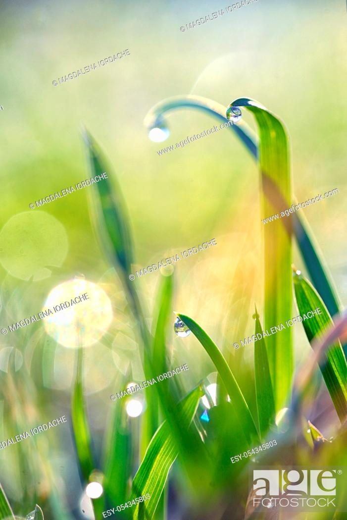 Stock Photo: Fresh grass on field with dew drops in morning.
