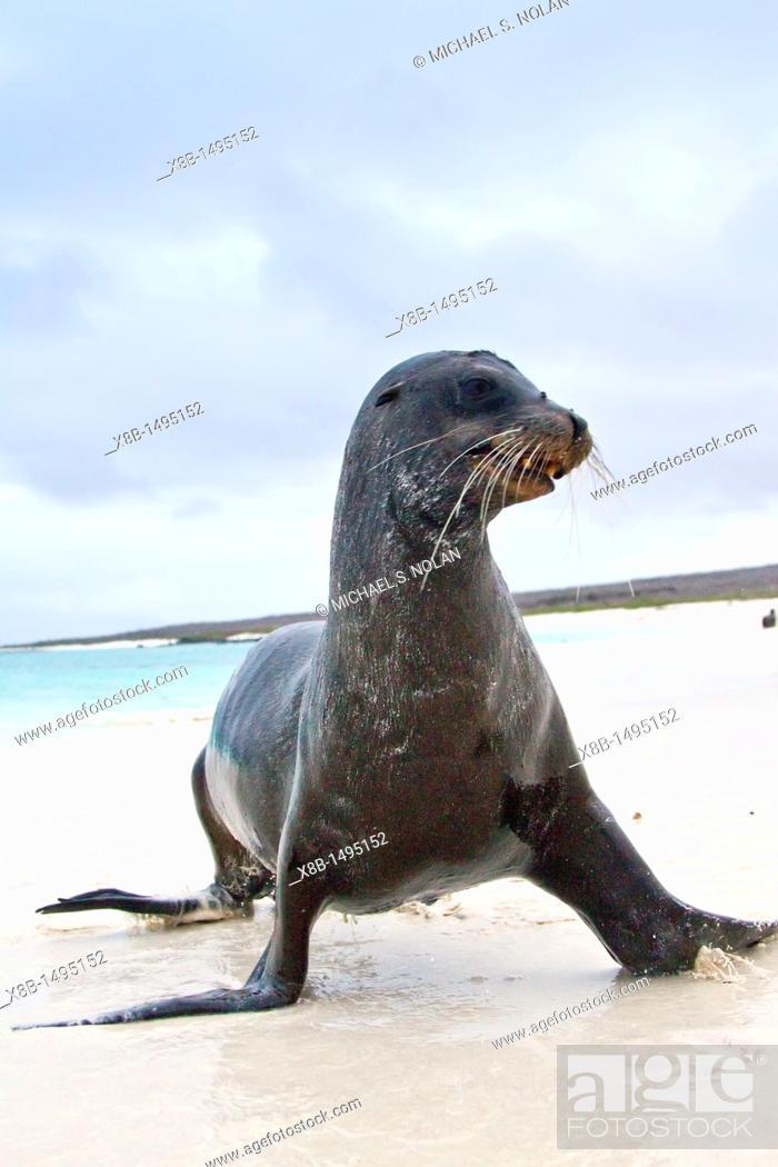 Stock Photo: Galapagos sea lions Zalophus wollebaeki hauled out on the beach in the Galapagos Island Archipelago, Ecuador  MORE INFO The population of this sea lion.