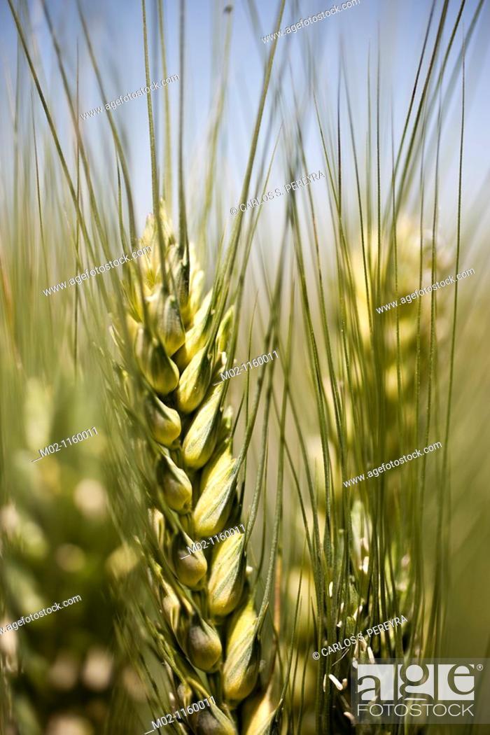 Stock Photo: Detail of triticum  Wheat.