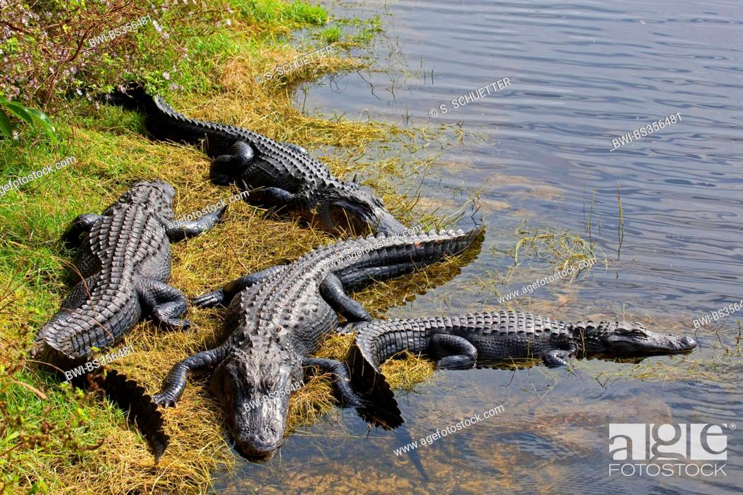 Imagen: American alligator (Alligator mississippiensis), four alligators lying at the shore of a watercourse, USA, Florida, Big Cypress National Preserve.