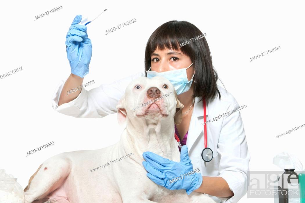 Stock Photo: Portrait of female vet checking temperature of dog over gray background.