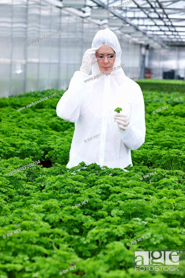 Stock Photo: Germany, Bavaria, Munich, Scientist examining parsley plants in greenhouse.