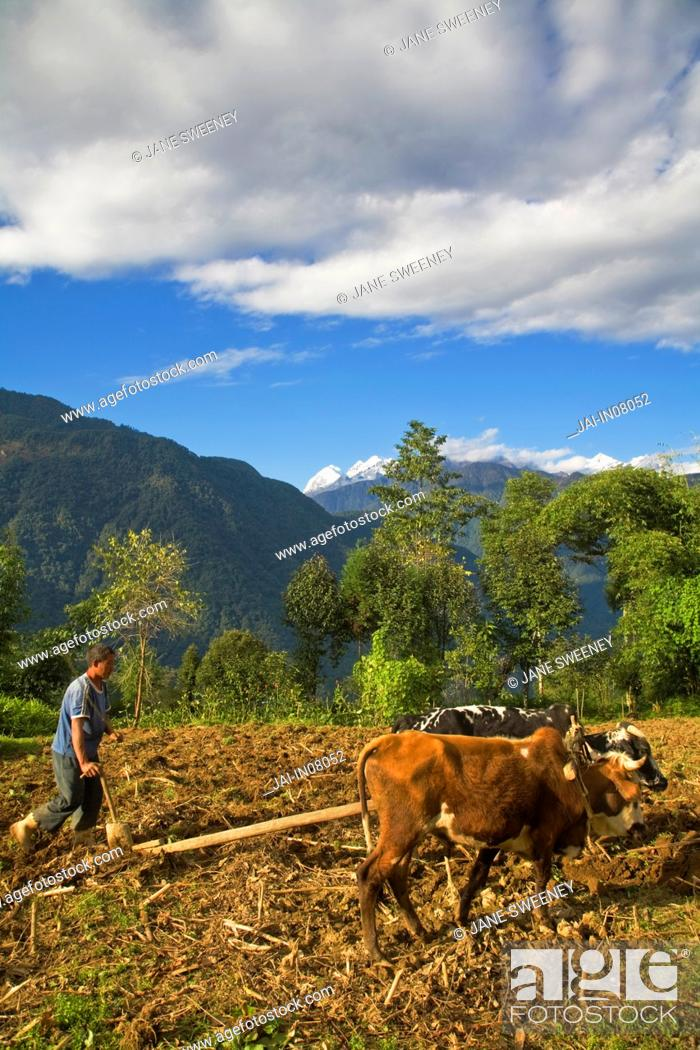Stock Photo: India, Sikkim, Khecheopalri Lake area, Man ploughing fields with Oxen.
