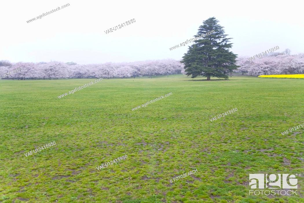 Stock Photo: Green tree in cherry blossoms field, copy space, Japan.