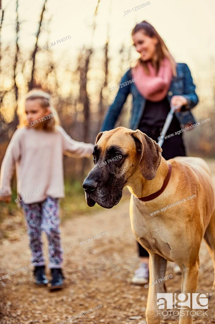 Stock Photo: A young mom and her daughter walking their Great Dane in a park on a warm autumn evening; Edmonton, Alberta, Canada.