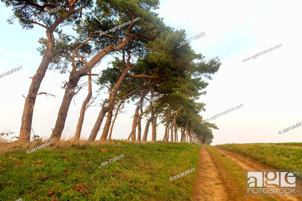 Stock Photo: A line of Scots pine trees marking an field boundary in the countryside, Shottisham, Suffolk, England.