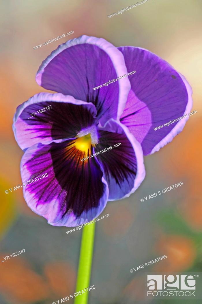 Stock Photo: Wishbone Flower, Torenia fournieri.