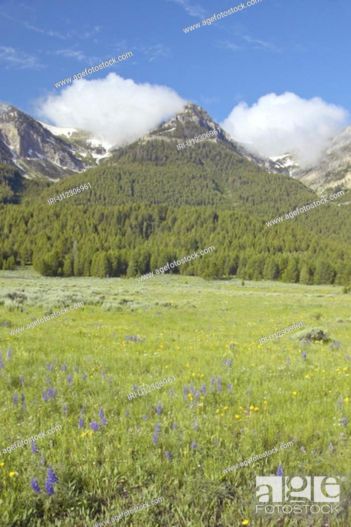 Stock Photo: Purple lupine and mountains.