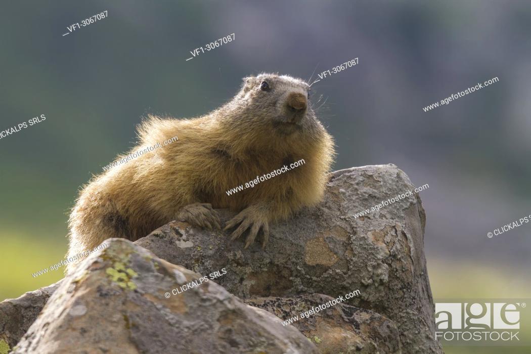 Stock Photo: Marmot on the rock, italian alps, Piedmont, Italy, Europe.