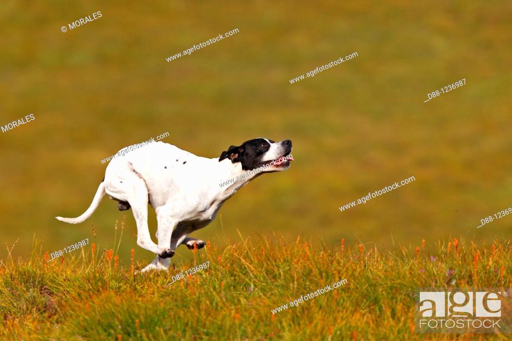 Stock Photo: Pointer  Canis lupus familiaris.