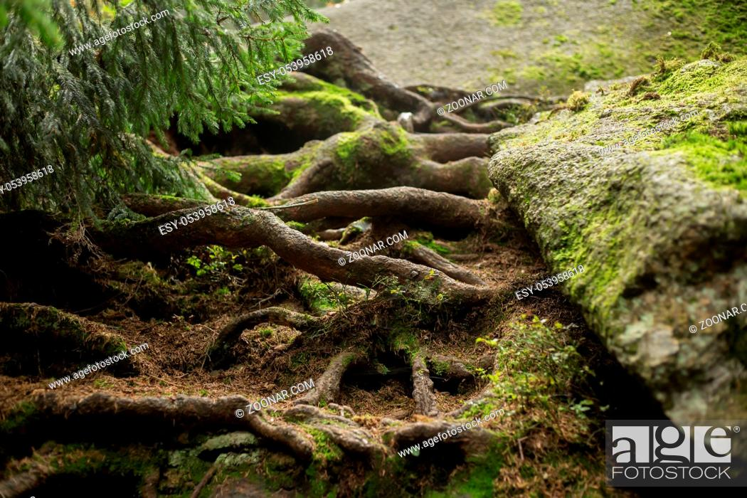 Stock Photo: Great roots growing in the middle of the forest.