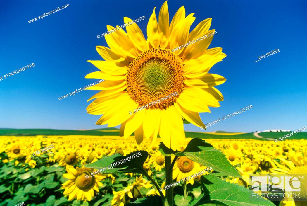 Stock Photo: Sunflowers. Córdoba. Spain.