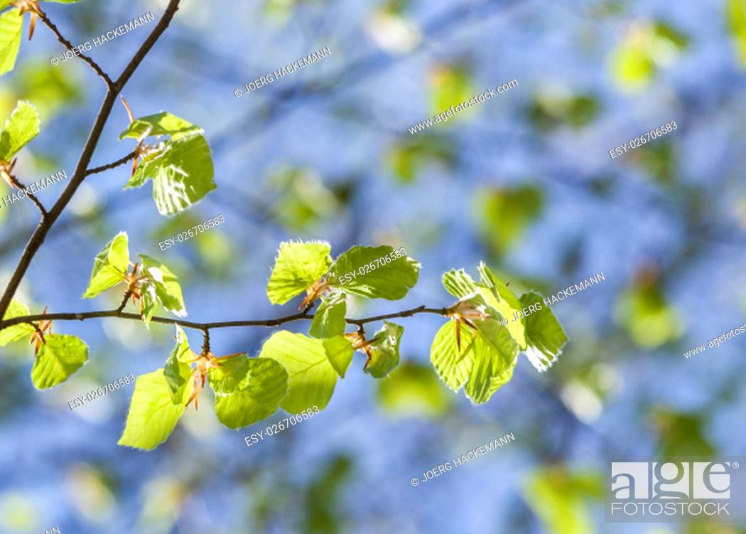 Stock Photo: Close-up shot of a branch with young leaves in spring.