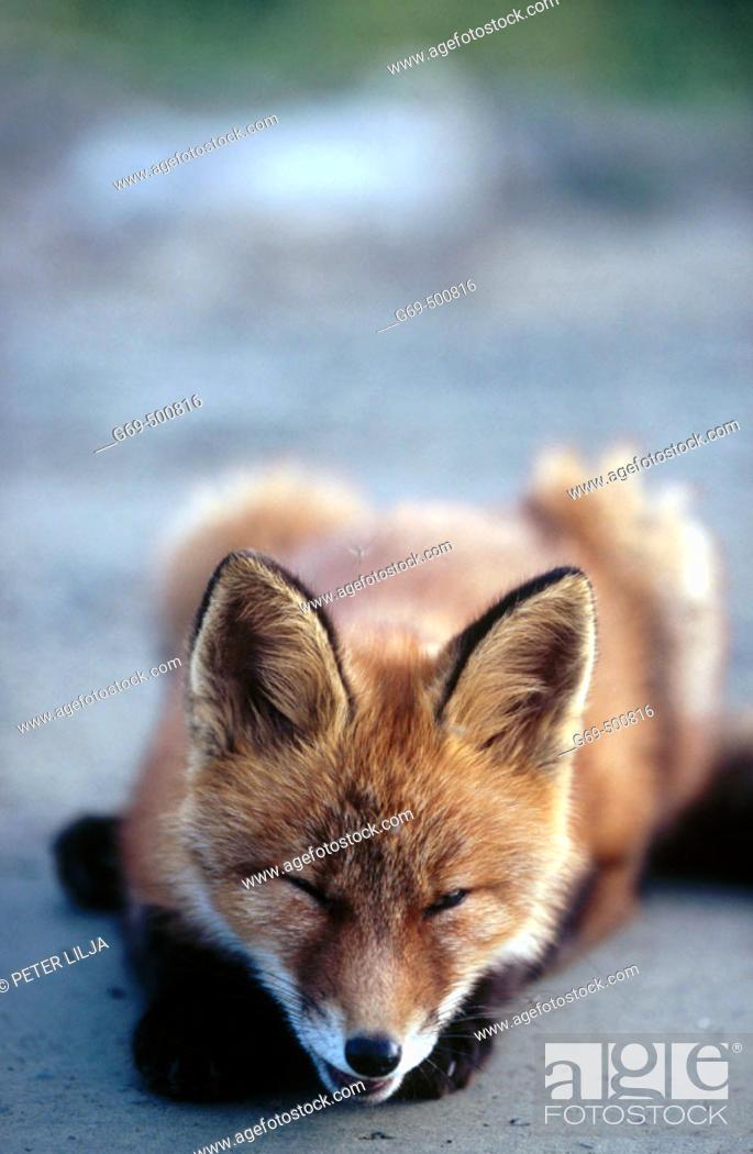Stock Photo: A fox cub (Vulpes vulpes) laying on a gravelled road. Marsliden. Vasterbotten. Sweden.