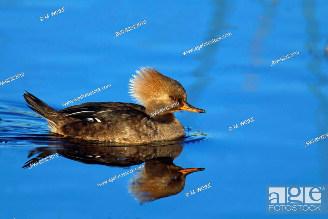 Stock Photo: hooded merganser (Mergus cucullatus), swimming female, USA, Florida.