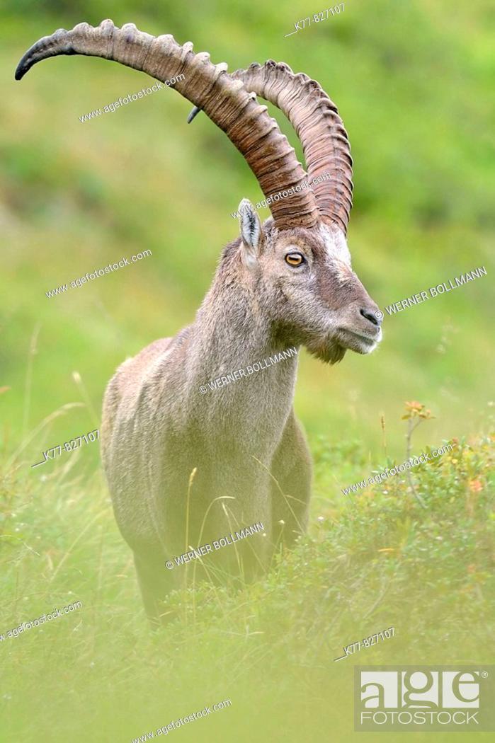 Photo de stock: Alpine Ibex (Capra ibex), male/buck. Niederhorn, Switzerland.